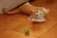 Gato Jinks  (10) (adopcionesfelinasvalencia) Tags: gato jinks