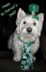 """3/12A ~ """"Riley's St. Patrick's Day Portrait"""" (ellenc995) Tags: riley westie westhighlandwhiteterrier 12monthsfordogs16 stpatricksday green coth rubyphotographer thesunshinegroup coth5 alittlebeauty fantasticnature supershot challengeclub pet100 thesuperbmasterpiece sunrays5 akob pet500 pet1000 thegalaxy abigfave"""