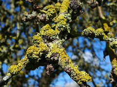 Lichens on a Tree (cycle.nut66) Tags: camera leica blue colour tree sunshine spring branches panasonic summicron lichen twigs lichens knarly dmc compact lx3