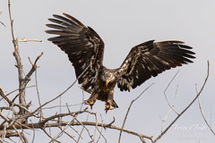 Juvenile Bald Eagle struggles to land - 20 of 27