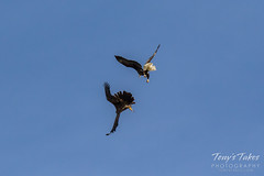 Bald Eagles battle for breakfast - Sequence - 8 of 42