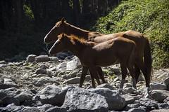 We were thirsty (Imthearsonist) Tags: chile santiago wild horses naturaleza verde nature canon caballos agua canoneos rocas drinkingwater quebradademacul canonreflext3i