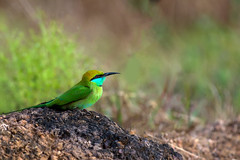 Green bee-eater (Merops orientalis) (Ganesh R. Mandavkar) Tags: wild green bird beauty wildlife beeeater konkan wildindia birdsofindia