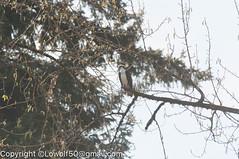 _DSC4796.jpg (orig_lowolf) Tags: usa dog nature oregon nikon flickr osprey lakeoswego turkeyvulture d300s sigma150500mmf563afapodgoshsmtelephotozoom