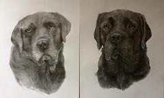 Pencil Labradors (silverdx1) Tags: pencil artist portrait canine commissions selftaught paintedpetsetc