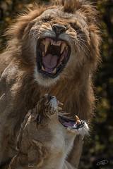 Wild love (AYMAN-ALKANDERI) Tags: africa wild love kenya lion safari mara massai         alkandari  aymanalkanderi