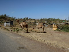 Roadside Dromedaries