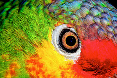 red lored amazon parrot (donjuanmon) Tags: blue red orange black green bird eye texture nature yellow closeup amazon feathers parrot cliches hcs redlored clichesaturday donjuanmon
