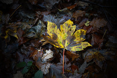 Autumn leaves wallpapers by Twalls (Alex Hoang) Tags: trees tree nature beauty leaves yellow forest stem colours autumnleaves naturalworld naturesbeauty photosof imageof photoof twalls imagesof twigmoorwoods sonya77 paulsimpsonphotography