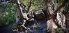 Roots & Trunks (Xevi V) Tags: trees plants tree oak nikon roots catalonia montserrat trunk catalunya trunks root oaks plantes holmoak arrels troncs alzina arrel alzines tumblr holmoaks parcnaturaldelamuntanyademontserrat serraladaprelitoralcatalana lignina nikond5500 picsandshots