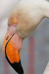 IMG_4202 (francis2524) Tags: flamingo flamant phoenicopterus roseus