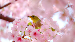 DSCF7723_sft2c (naofumitaguchi) Tags: fujifilm xm1 tokyo japan メジロ naofumitaguchi sakura bird 富士フイルム 日本 東京 桜 mejiro japanese whiteeye