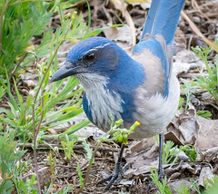 Out Looken. (Omygodtom) Tags: wild abstract bird outdoors nikon bokeh scene animalplanet scrubjay tamron90mm d7100