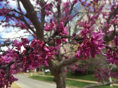(Patabelena) Tags: tulsa mapleridge redbud