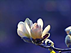 The Spring Diva (broombesoom) Tags: white rose germany deutschland spring ast blossom pastel magnolia blte ros frhling transparenz magnolie weis lucidity pasteltne