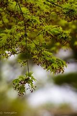 Momiji (Yorkey&Rin) Tags: japan tokyo spring olympus momiji japanesemaple april rin   2016   showakinenkouen em5 freshgreenleaves  olympusm75300mmf4867ii t4100328