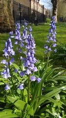 20160429_152240 (Carol B London) Tags: flowers floral bluebell blubells stepneygreen bluebelle stepneygreengardens ougarden