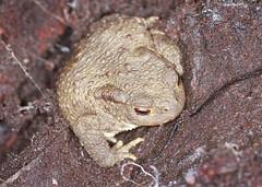 Common Toad (Prank F) Tags: nature wildlife toad common amphibean wildlifetrust glapthorncowpastures northantsuk