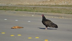 Turkey Vulture road kill (michaelf133) Tags: bird animal turkey squirrel hunting feathers bald redhead deadanimal ugly vulture creature birdofprey turkeyvulture