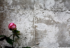 Life is everything #life #love #art #colours #rose #fleur #blumen #wall #spring #nature (fedebertaz90) Tags: life art love nature fleur rose wall spring colours blumen