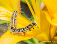 Eastern Tent Caterpillar 3 (strjustin) Tags: flowers macro beautiful canon spring bugs caterpillar 60mm liles easterntentcaterpillar 60d canon60d yellowtigerlilies