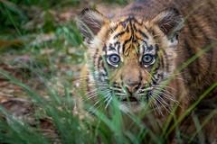 Cutie Cub Closeup [In Explore 5/3/16] (helenehoffman) Tags: animal sumatra mammal cub tiger bigcat sumatrantiger carnivore felidae pantheratigrissumatrae conservationstatusendangered sandiegozoosafaripark