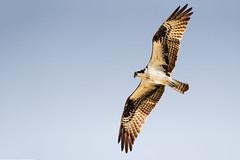 An Early Morning Hunt (Patricia Ware) Tags: canon florida birdsinflight fullframe osprey pandionhaliaetus specanimal vierawetlands ef500mmf4lisusm 2013patriciawareallrightsreserved httppwarezenfoliocom