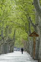 Spaziergang (Marlis1) Tags: trees planetrees platanen marlis1 tortosacataluaespaa panasonicfz1000