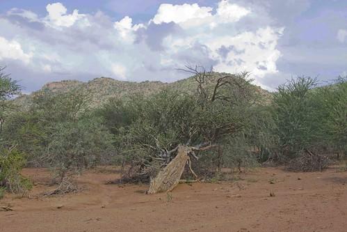 Boscia albitrunca, Witgat, Shepherd's Tree, Welgefonden