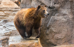 Lightning Fast Grizzly (marzipan bunny) Tags: bear arizona zoo tucson 7 april grizzly grizzlybear zooanimals 2016 reidparkzoo runningbear zoophotography