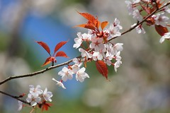 やまざくら (山桜)/Prunus jamasakura (nobuflickr) Tags: nature japan spring kyoto 桜 sakura 京都御苑 kyotoimperialpalace 京都市 御所 awesomeblossoms 20160321dsc04367