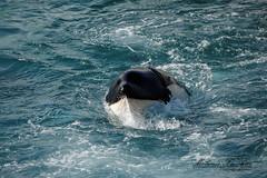 Inouk en mouvement (orcamel30) Tags: reflex nikon orca dauphin marineland baleine orcinus orque ctac inouk 55300 epaulard odontocte