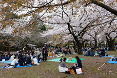 20160405-055-Picnics under Yoyogi-koen cherry blossoms (Roger T Wong) Tags: travel people holiday japan garden balloons tokyo spring picnic crowd harajuku cherryblossoms canonef1740mmf4lusm yoyogikoen 2016 canon1740f4l canoneos6d rogertwong