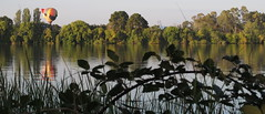 Blackberries over run the shore of Lake Burley Griffin (spelio) Tags: water festival mar hotair balloon australia canberra act cbr 2016 lakeburleygriffin