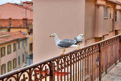 Segull  in Cannes (jmlpyt) Tags: france lifestyles traveldestinations vacations nature animalsandpets flying exploration city highangleview spreading citylife seagull looking summer animalwing wildlife touristresort freedom frenchriviera house animal outdoors cannes urbanscene europe bird lookingatview
