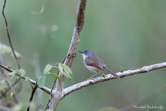 Rufescent Prinia (Vinchel) Tags: park bird nature animal cat canon is outdoor wildlife vietnam national ii l usm f28 tien 400mm 1dx