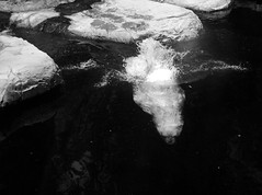 DSC_2381 (abi.rayner) Tags: bear nyc blackandwhite nature water monochrome photography photo wildlife diving polarbear polar tonal