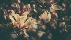 Magnolia 2016 | Olympus OM-D E-M5 MarkII | Sigma 60mm f.2.8 (Roland C. Vogt) Tags: sigma olympus magnolia 60mm blte f28 omd | markii 2016 em5
