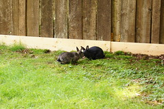 The Kiss (Tjflex2) Tags: boy pets canada cute rabbit bunny bunnies nature girl vancouver mammal furry pretty bc friendship fuzzy conejo small adorable cuddly coelho playful lapin usagi krolik kanin lagomorph toki lepus fenek iepure muyal kelinci ilconiglio coinin sungura leporidea