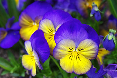 Blue-yellow coctail (pentars) Tags: blue wild flower macro nature beautiful yellow hearts spring close pentax blossom delight tricolor bloom viola fa ease heartsease 2490 ticklemyfancy jackjumpupandkissme k5ii