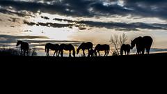 ND Spring Horses (Jacob Laducer) Tags: ranch light sunset horses mountains silhouette golden turtle hour northdakota belcourt