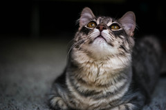 Today Is Another Happy Day (Kenny Dong) Tags: cats cat canon happy kitten tabby kittens indoor siberian tabbycat siberianmix