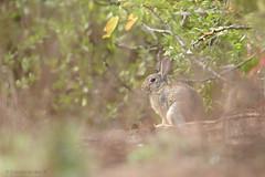 Conejo (Cristian Becker) Tags: dof conejo s santodomingo d810 600mmf4gvr
