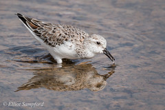 IMG_2217 (Elliot Sampford) Tags: birds spain wildlife sanderling lopagan