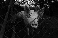 P1200296 (salomedzneladze) Tags: street animals georgia photography pig photo streetphotography bnw tbilisi