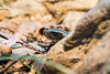 Red-bellied black snake \ Pseudechis porphyriacus (aaron.wiggan) Tags: nationalpark snake wildlife april naturephotography 2016 walkaboutcreek australiannative pseudechisporphyriacus redbelliedblacksnake daguilarnationalpark aaronwiggan