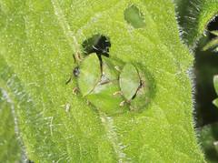 Thistle Tortoise Beetles - Cassida rubigiosa (Prank F) Tags: macro nature closeup insect leaf wildlife thistle beetle tortoise mating wildlifetrust northantsuk ditchfordlakesmeadows cassidarubigiosa