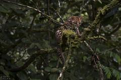 Oncilla (ggallice) Tags: peru cat andes cloudforest pasco felidae oncilla tigrillo leopardustigrinus yanachagachemilln yanachagachemillennationalpark