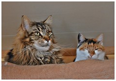 hviledag (KvikneFoto) Tags: cats katter