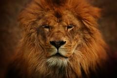 Lyon king (Japo Garca) Tags: portrait parco textura valencia animal canon zoo king lyon retrato centro dos rey felino gran primer plano len fotografa garca melena mamfero japo regla simetra ocres marrn centrado tercios vignete bioparc